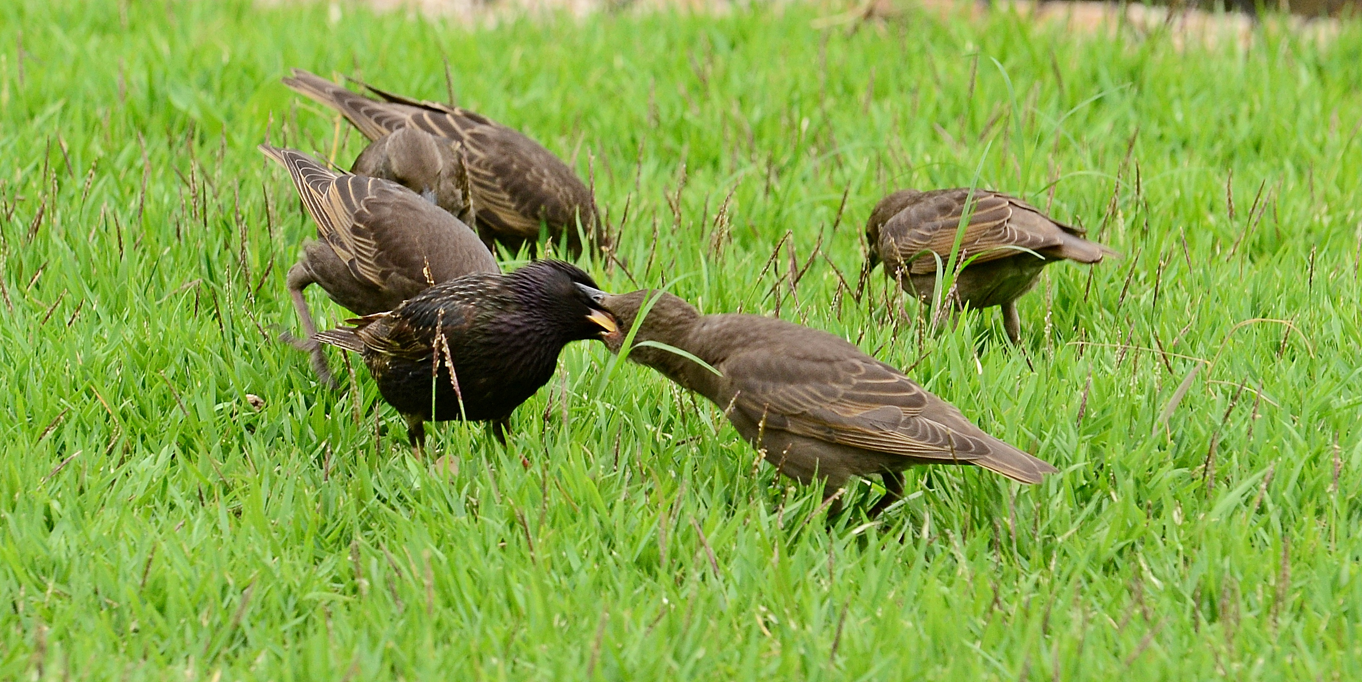 hungry baby starlings in my backyard dina u0027s city wildlife adventures