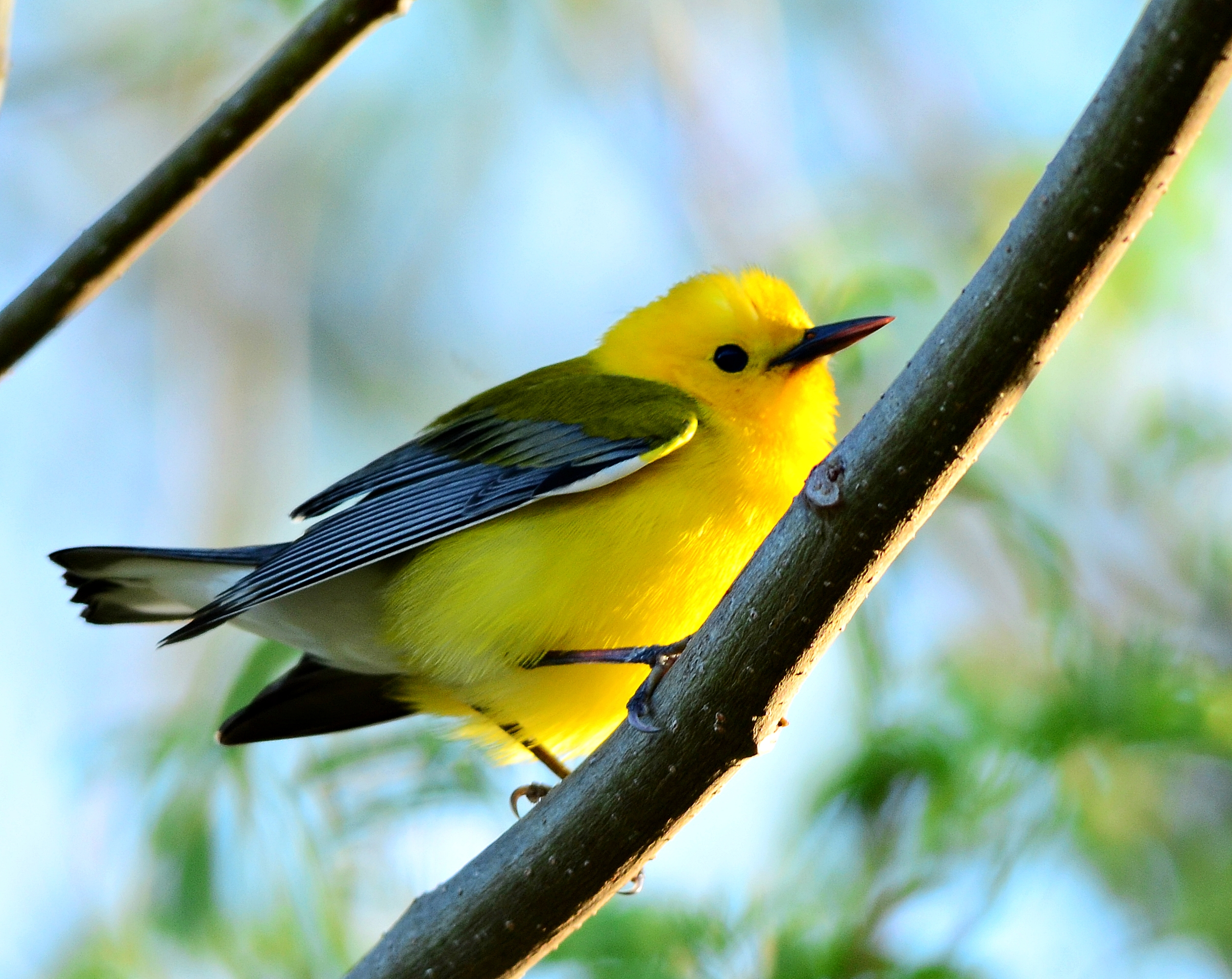 Little yellow birds invade Fort Desoto | Dina's Wildlife ...
