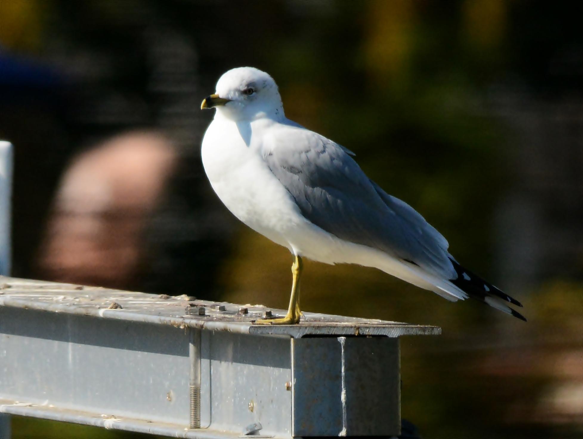 backyard birds during the holidays dina u0027s city wildlife adventures