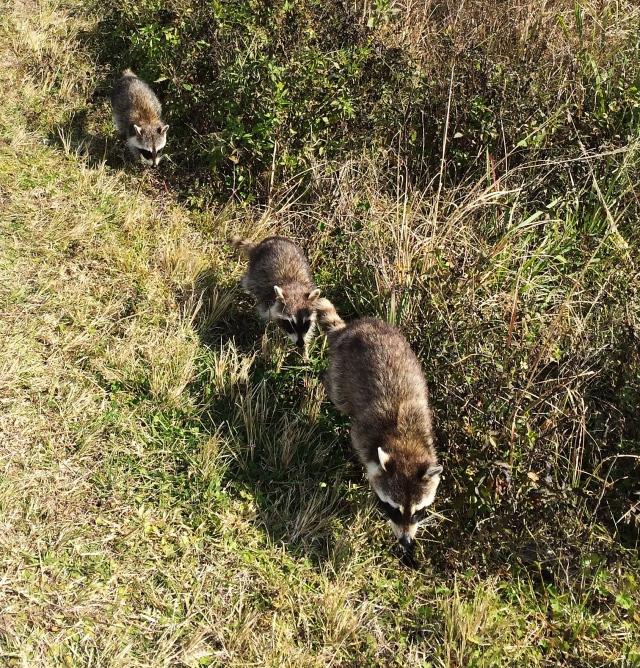 raccoons 2