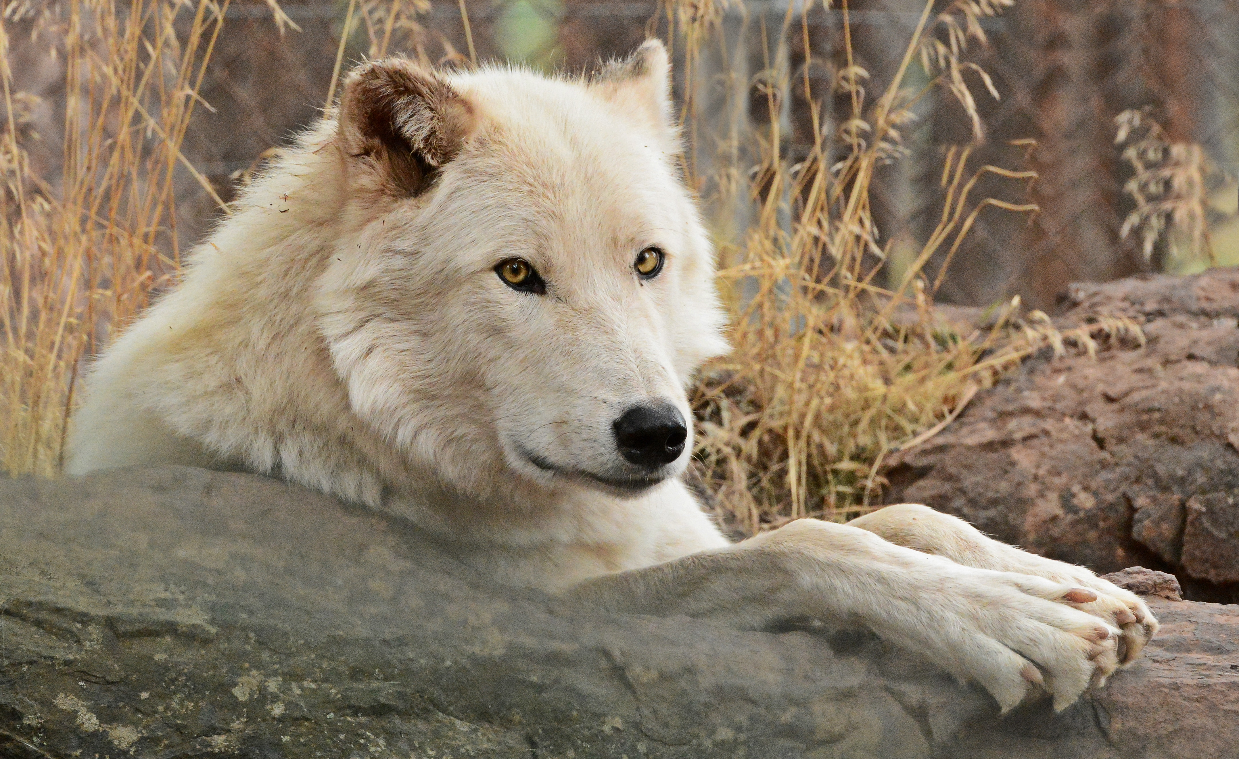 More Bearizona Animals Dinas Wildlife Adventures