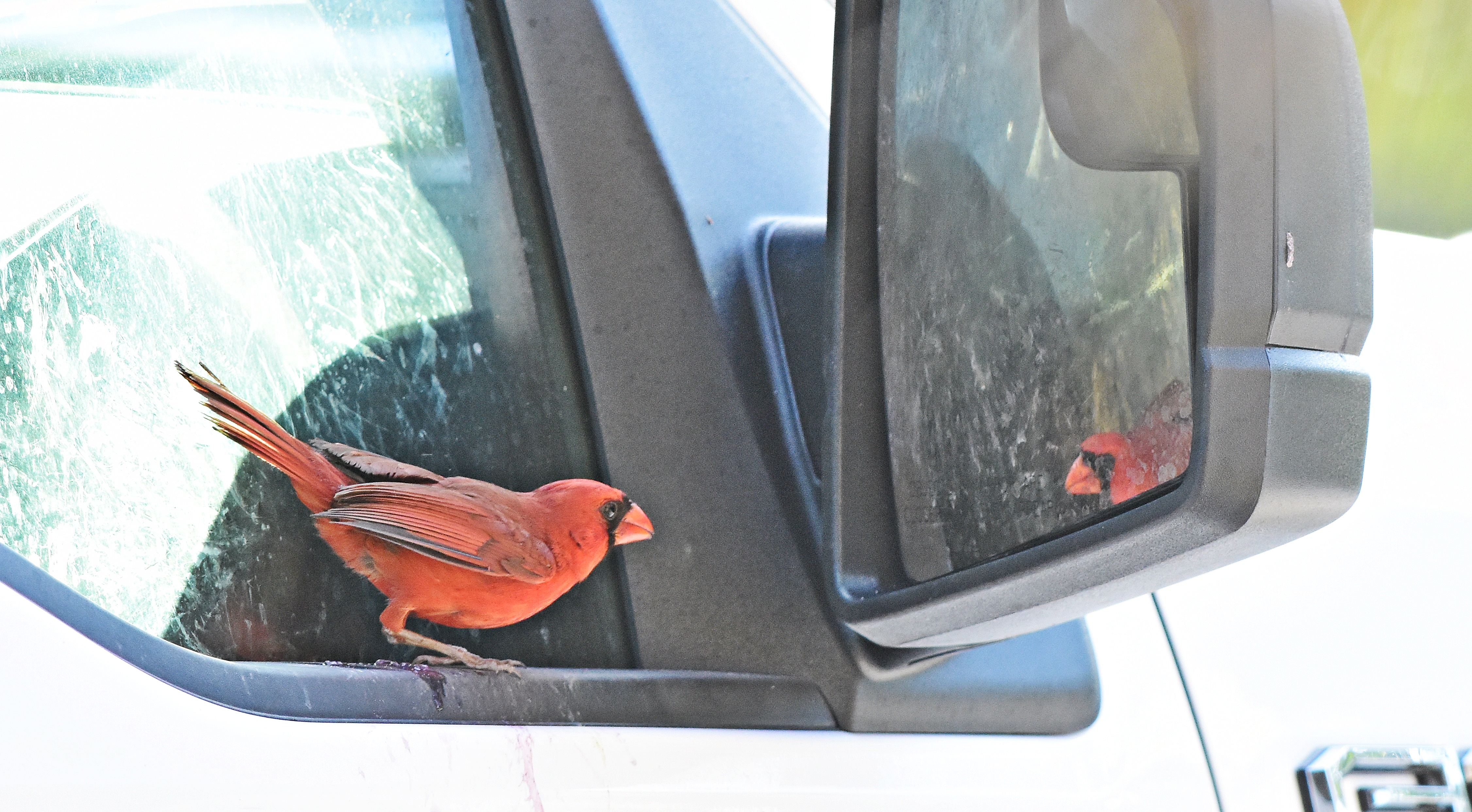 A cardinal checking himself out in the mirror in the parking lot. & June | 2017 | Dinau0027s Wildlife Adventures