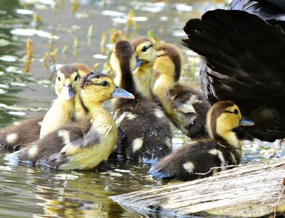 baby muscovy ducks | Dina's Wildlife Adventures