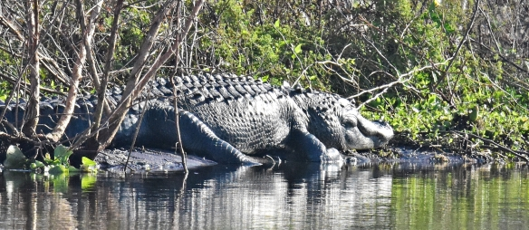 Gator day at the park    Dina's Wildlife Adventures